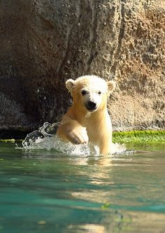 Baby Polar Bear in the Early Sages of lLearning to Swim.. (By Erika Villa).