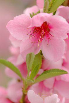#Nettarina Nana. Dwarf #Nectarine Trees.