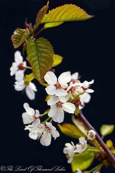 Kirsikkapuun kukkia.