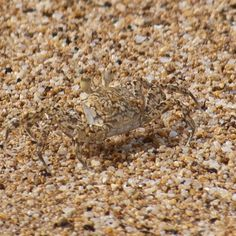 Watch your toes! Crabs like this blend in perfectly with the beach in Kealia, Hawaii. Image by Michael