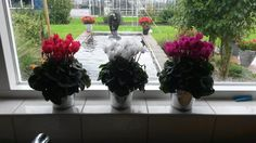2 weeks in the kitchen window, yet more than 100 flowers.