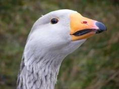 Steinbacher geese - trio - for sale - The Accidental Smallholder