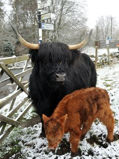 Highland cattle are renowned for their high quality, low fat beef and their cold hardiness Scottish Highland Cow, Highland Cattle, Scottish Highlands, Farm Animals, Animals And Pets, Cute Animals, Breeds Of Cows, Raising Cattle, Fluffy Cows