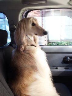 Poised...The Gorgeous Afghan Hound.
