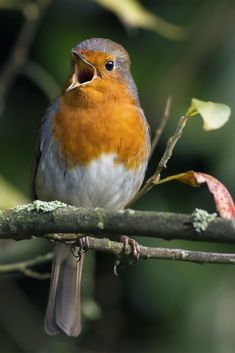 All Birds, Love Birds, Beautiful Birds, Animals Beautiful, Animals And Pets, Cute Animals, European Robin, Robin Bird, Tier Fotos