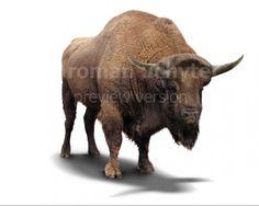Bison priscus (white background)