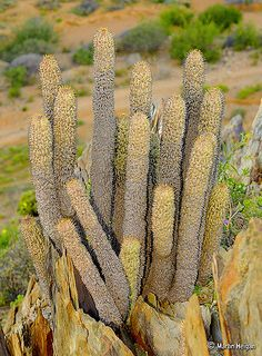 A huge Hoodia alstonii growing in habitat on shale rock formations in the Northern Richtersveld, Northern Cape, South Africa