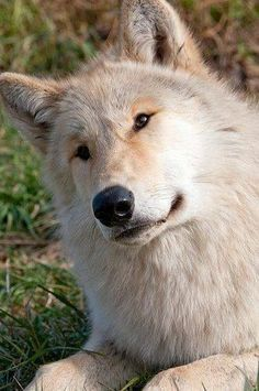 Spanielopolis — the-smiling-wolf: 😊🐺💖 Wolf Spirit, Spirit Animal, Beautiful Creatures, Animals Beautiful, Tier Wolf, Animals And Pets, Cute Animals, Wolf Life, Wolf Pictures