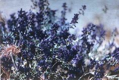 Indigo, a plant that produces a blue dye, was an important part of South Carolina's eighteenth-century economy. It was grown commercially from 1747 to 1800 and was second only to rice in export value. Carolina indigo was the fifth most valuable commodity exported by Britain's mainland colonies and was England's primary source of blue dye …