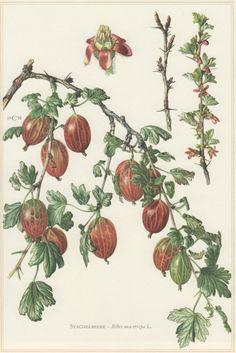 1960 Vintage Botanical Print Gooseberry Ribes by Craftissimo