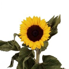 September Flowers, Sunflower | Pick Ontario
