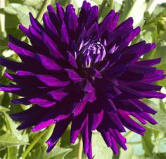 Dahlia 'NADINE JESSIE' (BBSC) Introduced in Beautiful, rich purple blooms with silver highlights are very striking. Unique Flowers, Exotic Flowers, Amazing Flowers, Beautiful Flowers, Purple Dahlia, Dahlia Flower, Purple Flowers, Summer Plants, Herbaceous Perennials