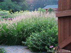 a late August shot of southern bush honeysuckle with frost grass (Spodiopogon sibiricus) and 'Karley Rose' Oriental fountain grass (Pennisetum orientale).