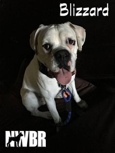 Blizzard is an adoptable Boxer searching for a forever family near Eugene, OR. Use Petfinder to find adoptable pets in your area. #dogs #adopt #rescue #shelter