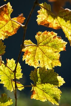 Grape vine | vitales