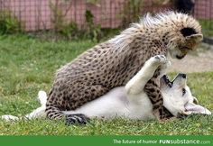 Puppy and Cheetah playing
