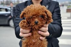 curly poodle pups