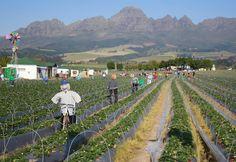 Scarecrows - Stellenbosch, Western Cape