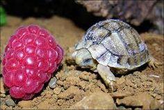 cute mini tortoise & strawberry