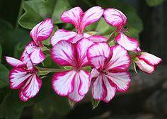 Geranium lierre - pelargonium peltatum
