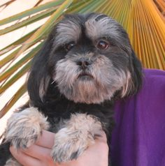Sara is a docile young Shih-Tzu mix debuting for adoption today at Nevada SPCA (www.nevadaspca.org).  She is 2 years of age, spayed, gentle, and good with other sweet dogs.  Please plan and budget for regular professional grooming, and give Sara kind guidance and a steady lifestyle routine to complete housetraining.