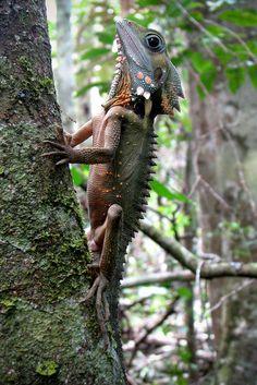 https://flic.kr/p/fwm2cn | Hypsilurus boydii (Boyd's Forest Dragon) | Mossman Gorge, QLD