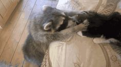 Share this Raccoon Tries to Make Friends With Cat Animated GIF with everyone. Gif4Share is best source of Funny GIFs, Cats GIFs, Reactions GIFs to Share on social networks and chat.