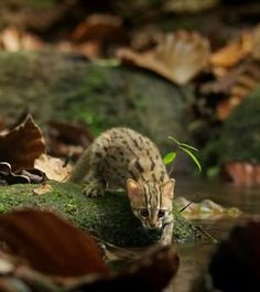 The rusty spotted cat weighs just over one kilogram and could fit in the palm of your hand when it is fully grown, is featured in the latest wildlife series from the BBC called Big Cats. Small Wild Cats, Small Cat, Big Cats, Cool Cats, Rusty Spotted Cat, Benadryl For Cats, Cat Safe Plants, Cute Wild Animals, Baby Animals