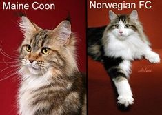 Norwegian Forest Cat: Comparison Between Maine Coon and Norwegian Forest Cat #NorwegianForestCat #CatBreeds