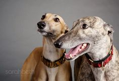 Greyhound Pets of America - MN