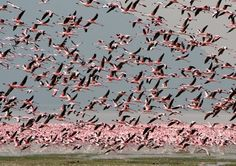 Millions of pink flamingos at Lake Nakuru, Kenya