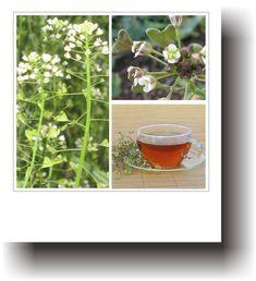 Plante medicinale – TRAISTA CIOBANULUI Plant
