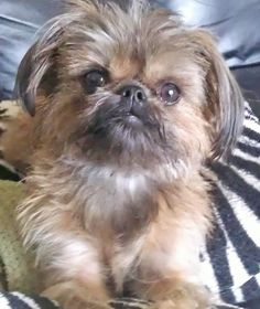 A nice portrait of Peanut, my Brussels Griffon/Shih Tzu, posing for the camera