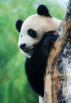 Panda Magical Tour
