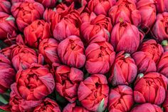 Search from 60 top Qwazzme Background pictures and royalty-free images from iStock. Find high-quality stock photos that you won't find anywhere else. Red Bedding, Red Tulips, Color Themes, Royalty Free Images, Backgrounds, Pumpkin, Pure Products, Stock Photos, Orange