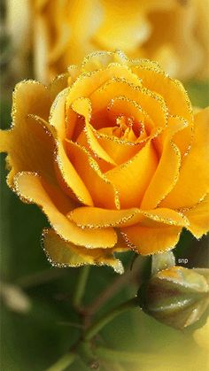 Golden Afternoon Rose in full bloom Most Beautiful Flowers, My Flower, Pretty Flowers, Cactus Flower, Beautiful Pictures, Beautiful Gorgeous, Bloom, Rose Fotografie, Ronsard Rose