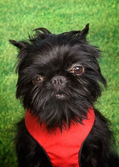 i love Brussels Griffons