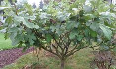 Chicago Hardy Fig: Fruit For Many Climates | Epic Gardening Gardening Zones, Plants, Garden Trees, Permaculture, Fruit Trees, Growing Fruit Trees, Forest Garden, Growing Tree, Outdoor Gardens