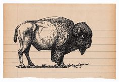 B is for Bison