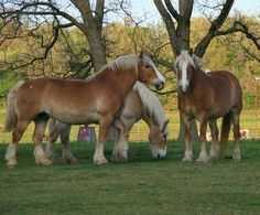 Grouping of 3 Belgian Draft Hores with perfect conformation.