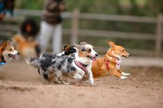 My Three Silly Corgis: Ed, Jiggles, and Butterbeer, There was a professional photographer at...
