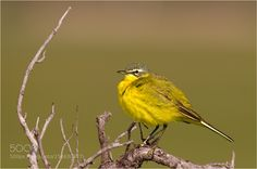 Western Yellow Wagtail / Schafstelze by mayer-chr. @go4fotos