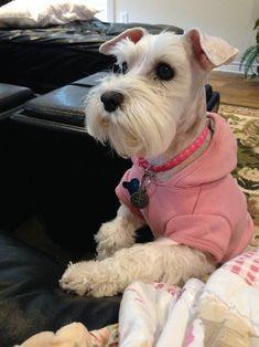 Schnauzer Grooming, Miniature Schnauzer Puppies, Schnauzer Puppy, Schnauzers, Pet Dogs, Dog Cat, Doggies, Pets, Schnoodle Dog