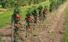 Оригинальный сад — колонновидные плодовые деревья на вашем участке