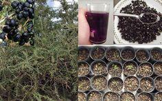 Black Goji Berry Wild Lycium Ruthenicum Seeds