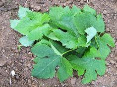 Κλήμα: φαρμακευτικές ιδιότητες Holistic Medicine, Athens, Lettuce, Plant Leaves, Cabbage, Health Fitness, Herbs, Vegetables, Plants