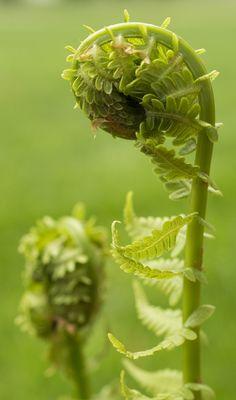 Macro Photography of a Fern Bud