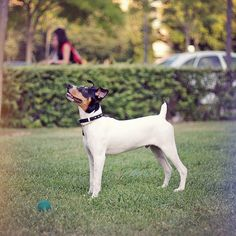 Rat Terrier, looks like Maxx