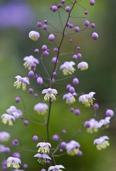 Thalictrum aquilegifolium - Flores y plantas Purple Flowers, Wild Flowers, Beautiful Flowers, Meadow Garden, Dream Garden, Shade Garden, Garden Plants, Indoor Garden, Garden Water