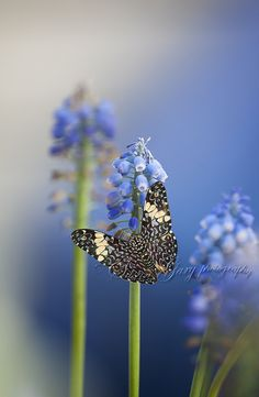 Blue Butterfly on Blue Muscari | Flickr - Photo Sharing!